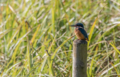 9Q6A5335 (2) (Alinbidford) Tags: alancurtis brandonmarsh kingfisher nature wildbirds wildlife