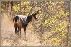 Chamois 181022-01-P (paul.vetter) Tags: rupicaprarupicapra capriné chamois bovidé gamuza gemse mountaingoat mammifère