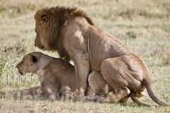 Lion Couple 4 (joezhou1) Tags: keny safari lions maasai mara samburu nakuru lake
