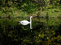 Swan on the Water of Leith (Malamute01) Tags: swan green reflection river scotland edinburgh autumn colours