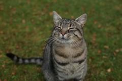 IMG_2660 Cat in Oban (Fernando Sa Rapita) Tags: cat gato oban scotland escocia canon canoneos eos6d