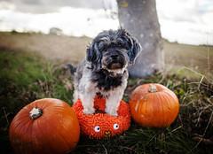 43/52 - Lil Pumpkin (Kirstyxo) Tags: teddy cute dog pumpkin halloween 4352 52weeksfordogs 52weeksfordogs2018 52weeksfordogs18