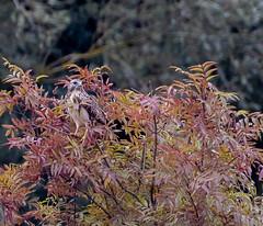 18 10 2018 (cathyk31) Tags: oiseau busevariable accipitridés accipitriformes buteobuteo commonbuzzard bird