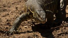 Gorongosa Dragon (zimbart) Tags: gorongosanationalpark mozambique roadno2 africa fauna vertebrata reptiles lizards varanidae varanus varanusniloticus