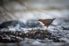 Wasseramsel 18018 (bertheeb) Tags: wasseramsel vogel singvogel nikon d750 500mmvr