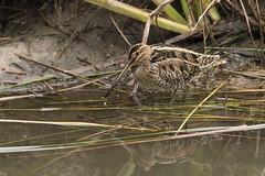 Bécassine des marais (Denis Fiel) Tags: bécassinedesmarais gallinago common snipe bécassine marais réserve ornithologique teich oiseau bird