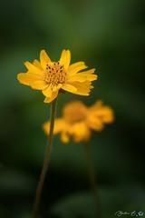 Flowers (B.A. BA) Tags: nature flower fleur flowers fleurs yellow jaune garden green plante plant plants vert outdoors extérieur natural flora floral flore