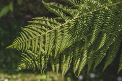 I fernly believe in ferns. (Jeana Marie Photography) Tags: macro plant tree fern forest ferns design nature landscape simplicity simple 50mm sigma canon 7dmii jeanamariephotography words thoughts love life naturelovers gardens landscapes garden sunshine summertime light shadow word green bokeh smooth memory faded