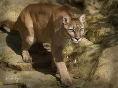Viktoria (yadrad) Tags: puma mountainlion bigcat thebigcatsanctuary carnivore ngc animal cat pumaconcolor feline