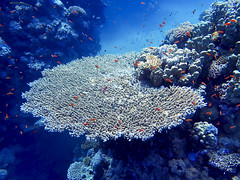 Table coral (tommyajohansson) Tags: underwater underwaterphotography underwaterwonderland coral corals coralreef diving scubadiving dykning taucher tauchen plonger plongeur bucear buzo undervattenfotografering undervattenfoton korall koraller korallrev tommyajohansson geotagged egypt egypten redsea rödahavet