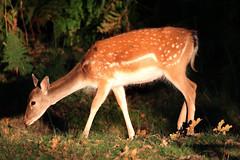 Fallow Deer Doe Dunham Park 240918a (John Higgins (EF)) Tags: dunhammassey dunhammasseyhall dunhammasseyhallparknt dunhampark trafford nationaltrust cheshire greatermanchester canon7dmkii canon100400mkii sigma150600cdgos animals animalia animal wildlife nature fallowdeer doe mammal damadama woodland