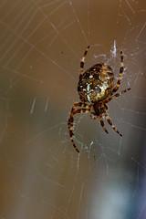 Garden Spider 4 (uplandswolf) Tags: spiders arachnids