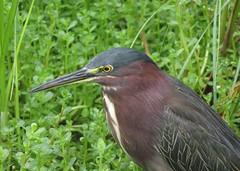 Green Heron (Bug Eric) Tags: animals wildlife nature outdoors birds birding birdwatching ornithology texas usa herons wadingbirds waterbirds greenheron southpadreisland northamerica september292018