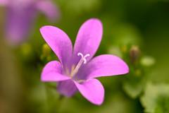 Pink (katjacarmel) Tags: flower pink nature natuur colours kleuren roze green groen bloem garden grass macro