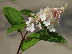 Norfolk, Fairhaven Woodland and Water Garden (2) (Padski1945) Tags: countiesofengland norfolk scenesofnorfolk flora flower flowers hydrangea
