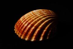 Shell (Antti Tassberg) Tags: extensiontube macro macromondays closeup 100mm lens prime