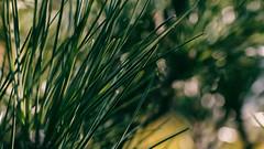 pine tree macro (Francis Mansell) Tags: pine tree needle macro bokeh blur nikanalogefexpro2 corsicanpine plant kew kewgardens royalbotanicgardenskew