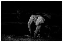 in the spotlight (v_ac_md) Tags: africanelephant blackrhinoceros halali oshikotoregion namibia na