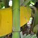 Namwa Khom_Peduncle close-up