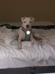 Bella posing pretty (SgtHazmat1) Tags: pitbull timparker bella