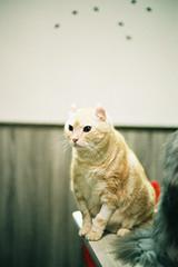 CNV000008 (雅布 重) Tags: 2017 nikon f100 nikkor 50mm f14d tudorcolors xlx200 film taiwan cat 貓 寵物