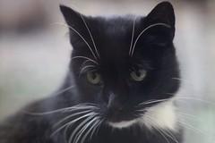 Blackie     Benoît Berthiot NEO CINESTAR 2   F=110  F / 2.3 (情事針寸II) Tags: bokeh 動物 猫 animal chat cat benoîtberthiotneocinestar2f110f23