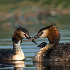 Great Crested Grebe family outing! (Jambo53 (catching up)) Tags: futen greatcrestedgrebe copyrightrobertkok