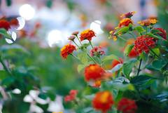 - (-LilyBeth) Tags: nature natura nikon d3000 dof depthoffield wonderfulworld flowers flower flickr 50mm bokeh light lightroom