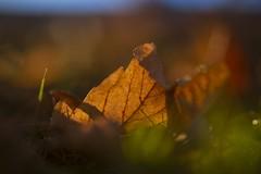 Herbstfarben  //  Autumn colors (Martin Bärtges) Tags: froschperspektive makrofotografie makro laub leaves herbst herbstfarben autumn d750 macro macrophotography nikon naturfotografie natur naturephotography nature