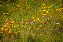 Colourful wild flowers. (artanglerPD) Tags: colourful wild