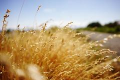 Summer memory (Eric Flexyourhead) Tags: delta canada britishcolumbia bc boundarybay dyke boundarybaydyketrail seaside grass weeds dry dried gold golden summer shallowdepthoffield bokeh sonyalphaa7 zeisssonnartfe35mmf28za zeiss 35mmf28