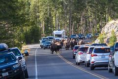 2018-09-trip-3-yellowstone-4-wildlife-mjl-17 (Mike Legeros) Tags: wyoming yellowstone nationalpark bison bisonjam buffaloroam