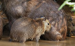 Capybara Youngster (Hydrochoerus hydrochaeris) (Susan Roehl) Tags: brazil2012 thecuiabariver brazil thepantanal capybara hydrochoerushydrochaeris largestrodentintheworld animal mammal reach4feetinlength hydrochoerusfamily closestrelatives guineapigsandrockcavies savannahs denseforests needswater highlysocial notthreatened semiaquatic lakes rivers swamps herbivores grasses aquaticplants fruit treebark longerspermlifethananyotherrodent sueroehl photographictours naturalexposures pentaxk7 sigma150500mmlens handheld takenfromboat cropped coth5 ngc npc