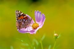 ヒメアカタテハ Painted lady (takapata) Tags: sony sel90m28g ilce7m2 macro nature flower insect butterfly