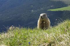 Marmot (Helmut Wendeler aus Hanau) Tags: marmot murmeltier mountain tirol italy alpen dolomites dolomiten