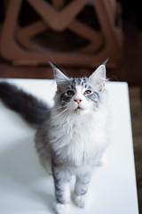 『貓貓喵丫』 #sel55f18z#sonya7iii#cat (Joey0124) Tags: sonya7iii sel55f18z cat