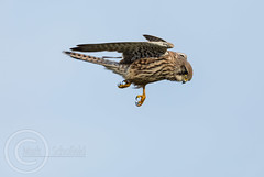 Wildlife October 7th 2018 178 - Kestrel about to drop in on something (Mark Schofield @ JB Schofield) Tags: pennine way south pennines peak national park trust hills moors vallies valley reservoir water peat moorland bog moss agriculture yorkshire huddersfield wessenden head pule buckstones scammonden royd edge holme colne marsden meltham digley march haigh west nab deer emley mast lapwing curlew hare bird wildlife oyster catcher chick young short eared owl hunting little duck mallard grouse kestrel red grey wagtail flight fly moorhen buzzard heron dipper geese canada goose great tit blue finch