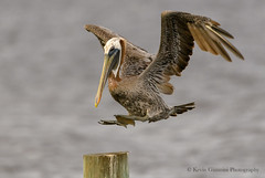 Brown Pelican (Kevin James54) Tags: brownpelican nikond850 pelecanusoccidentalis pelican tamron150600mm wilmington animals avian bird fortfisher kevingianniniphotocom