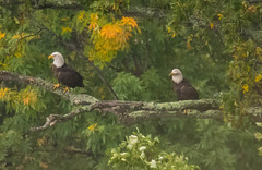 7K8A8094 (rpealit) Tags: scenery wildlife nature state line lookout bald eagle bird