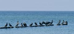 Kormorane auf der Buhne (karinrogmann) Tags: kormorane cormorants cormorani ahrenshoop mecklenburgvorpommern