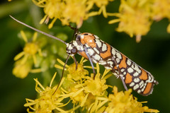 'Carpetbagger' Moth (tresed47) Tags: 2018 201810oct 20181001chestercountymacro ailanthuswebmoth chestercounty content fall folder insects macro moth october pennsylvania peterscamera petersphotos places season springtonmanor takenby technical us