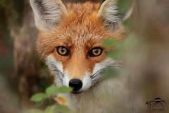 Portrait Renard (David Michel photographie Nature) Tags: canon7dmarkii tamron150600 renard portrait faune regard fox