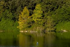 Swan Lake (Marco_964) Tags: lake lago autunno autumn colori colors tree alberi swan cigno riflessi reflection reflex pentax pentaxk50 pentaxiani pentaxian panorama landascape paesaggio acqua water flickrawardgallery pentaxflickraward