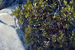 Pointleaf Manzanita (pchgorman) Tags: iceboxcanyon redrockcanyonnationalconservationarea nevada clarkcounty rainbowmountainwilderness sandstonebluffs mojavedesert october deserts pointleafmanzanita arctostaphylospungens taxonomy:binomial=arctostaphylospungens arctostaphylos ericaceae