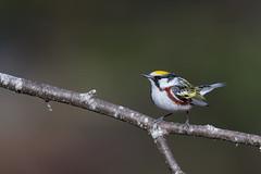 Chectnut-sided Warbler (Jesse_in_CT) Tags: chestnutsidedwarbler nikon warbler