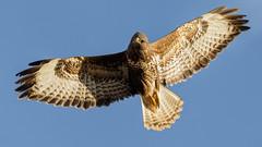 Poser (Unintended_Keith) Tags: buzzard posing poser birdinflight birdofprey raptor wild wildlife canon1dx sigma150600mms