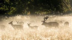 Red deers in Dyrehaven (Stig Nygaard) Tags: 2015 7d 7d2 7dii 7dmarkii backlight backlighting backlit beautifullight breedingseason brunsttid canonef70300mmf456lisusm canoneos7dmarkii cervidae cervuselaphus copenhagen copenhague cph creativecommons danmark deer deers denmark dk dyrehaven dänemark field fog golden goldenlight grass haze hind hinds hjort hjorte jægersborgdyrehave klampenborg krondyr kronhjort kronvildt köbenhavn köpenhamn københavn light lowsun matingseason mist morninglight photobystignygaard plain plains reddeer regionhovedstaden scenery silhouette stag tårbæk wildlife cuw46 dnk 16x9 169 idyllic idyl picturesque serene spectacular autumn mateseason