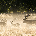 Red deers in Dyrehaven thumbnail