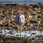 Heron eating a worm! thumbnail