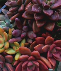 Rainbow Succulents (..KC..) Tags: garden plants cacti succulents succulent rainbow colorful colors